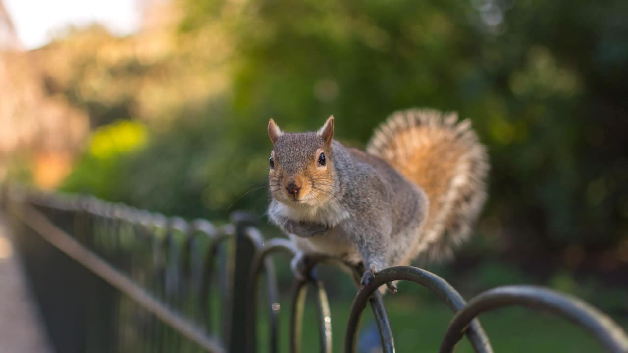 Squirrel at Hyde Park in London