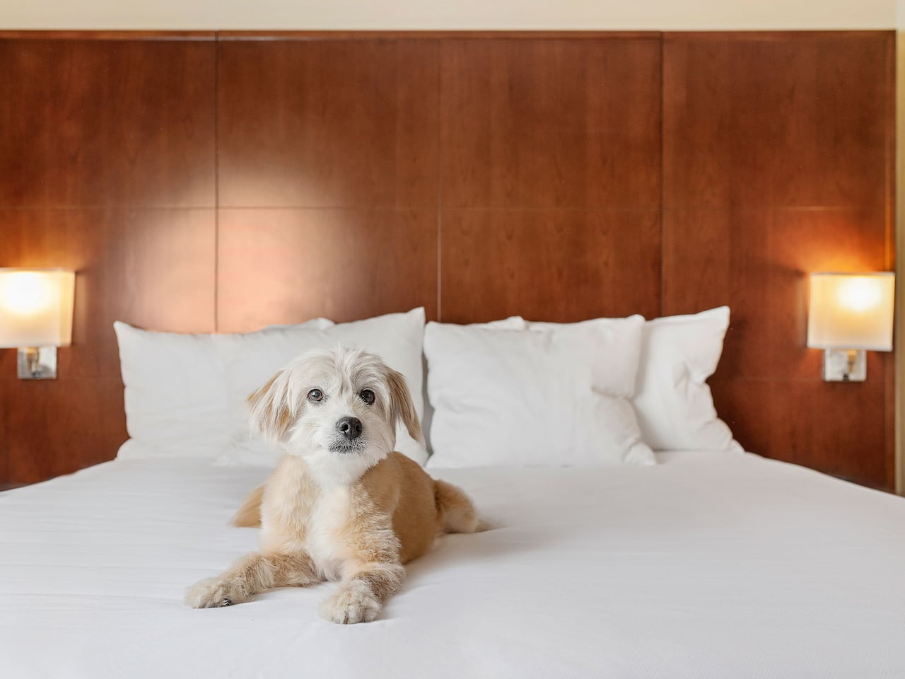 small golden dog on a guest bed in the Hyatt Regency Houston