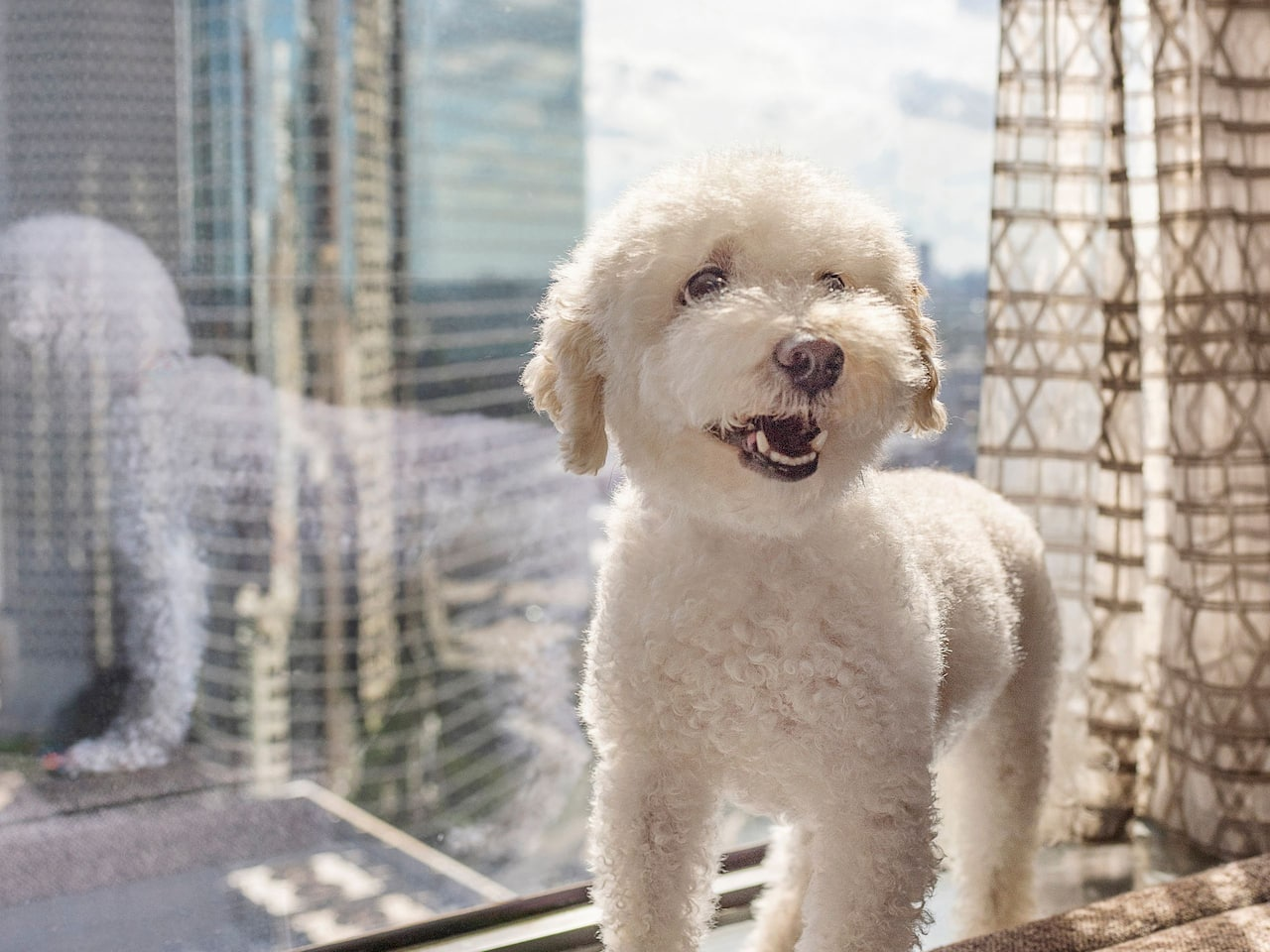 Small white dog in the window of a guest room in the Hyatt Regency Houston