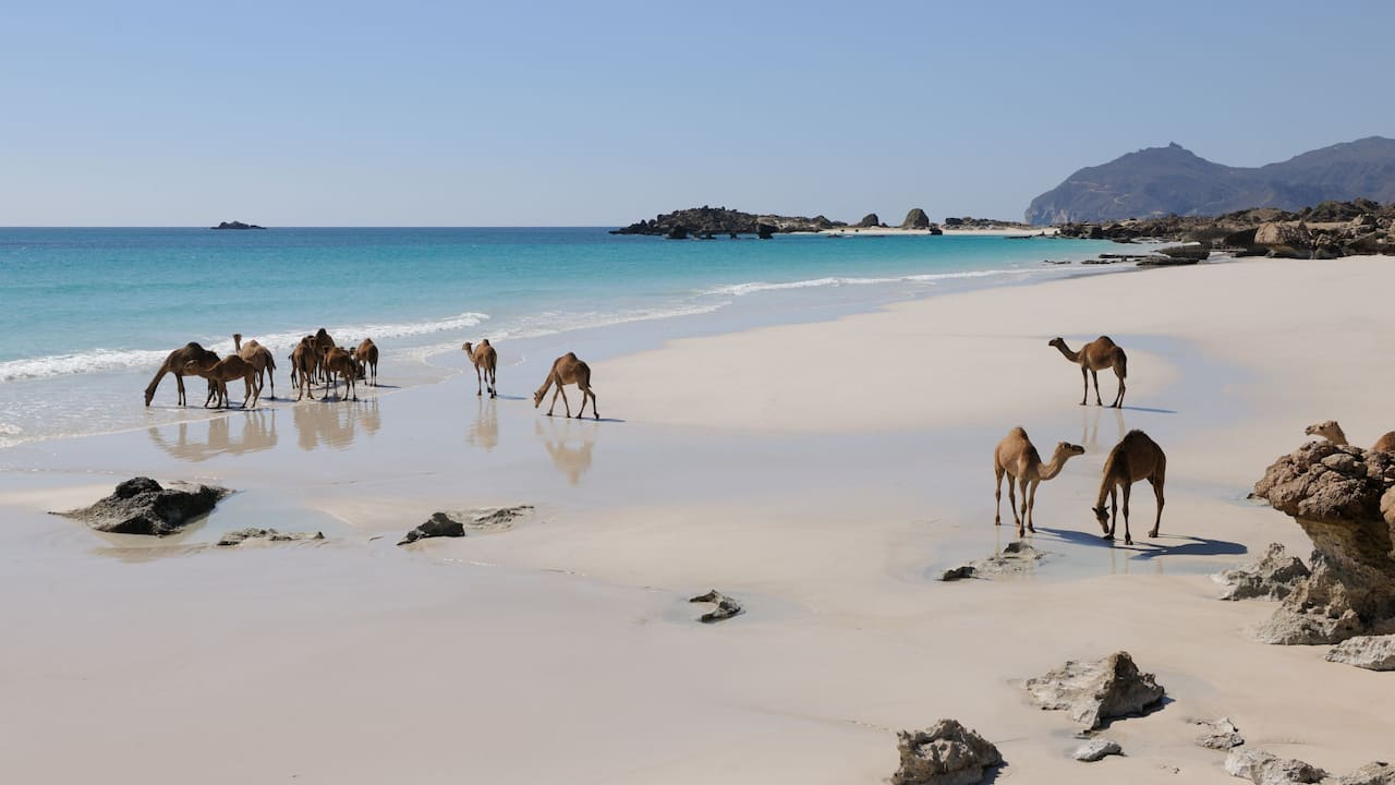 Destination Camels Dhofar
